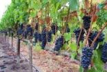 About Turkish Wines (1)
